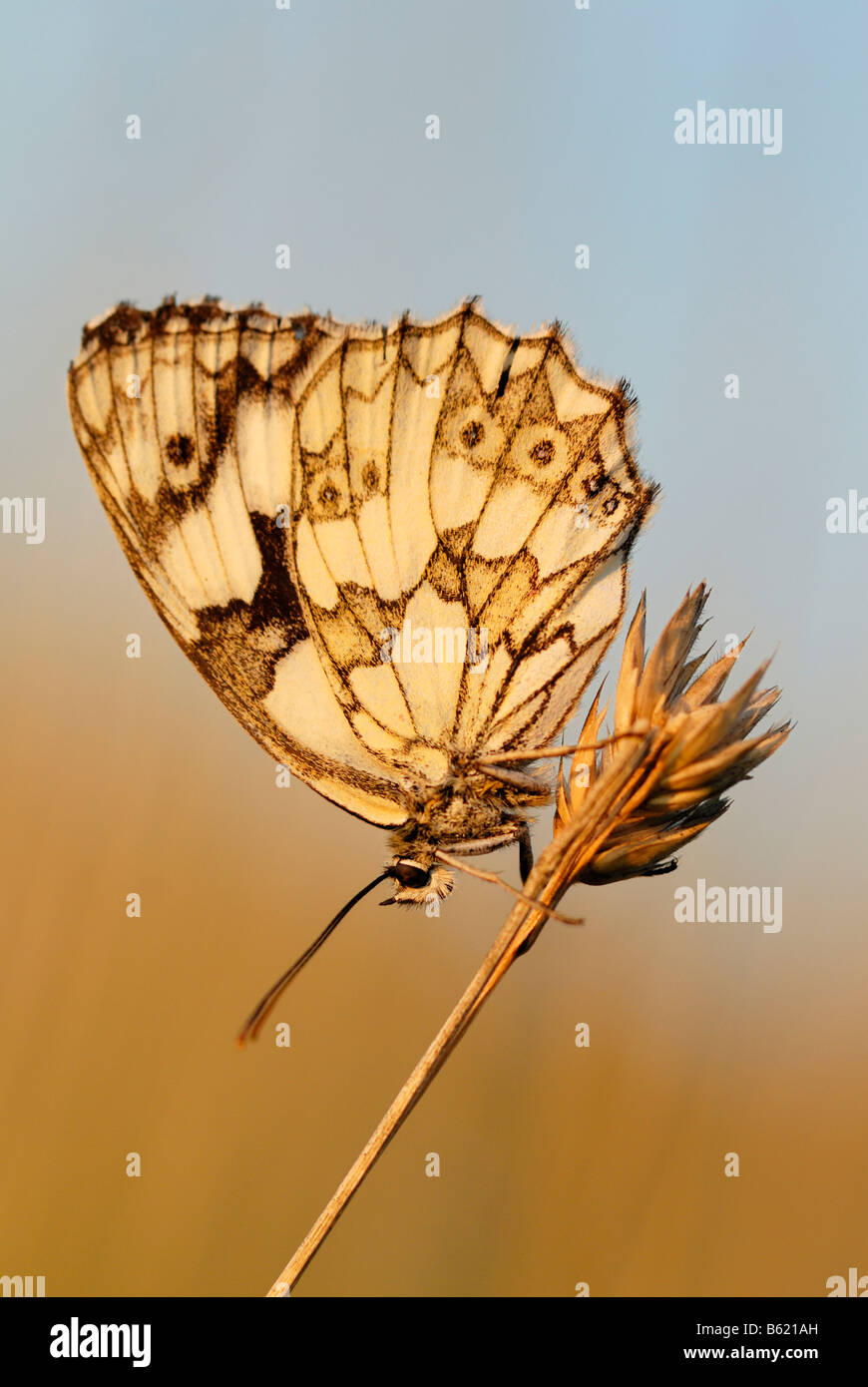 Marbled White (Melanargia galathea) on a stalk - Stock Image