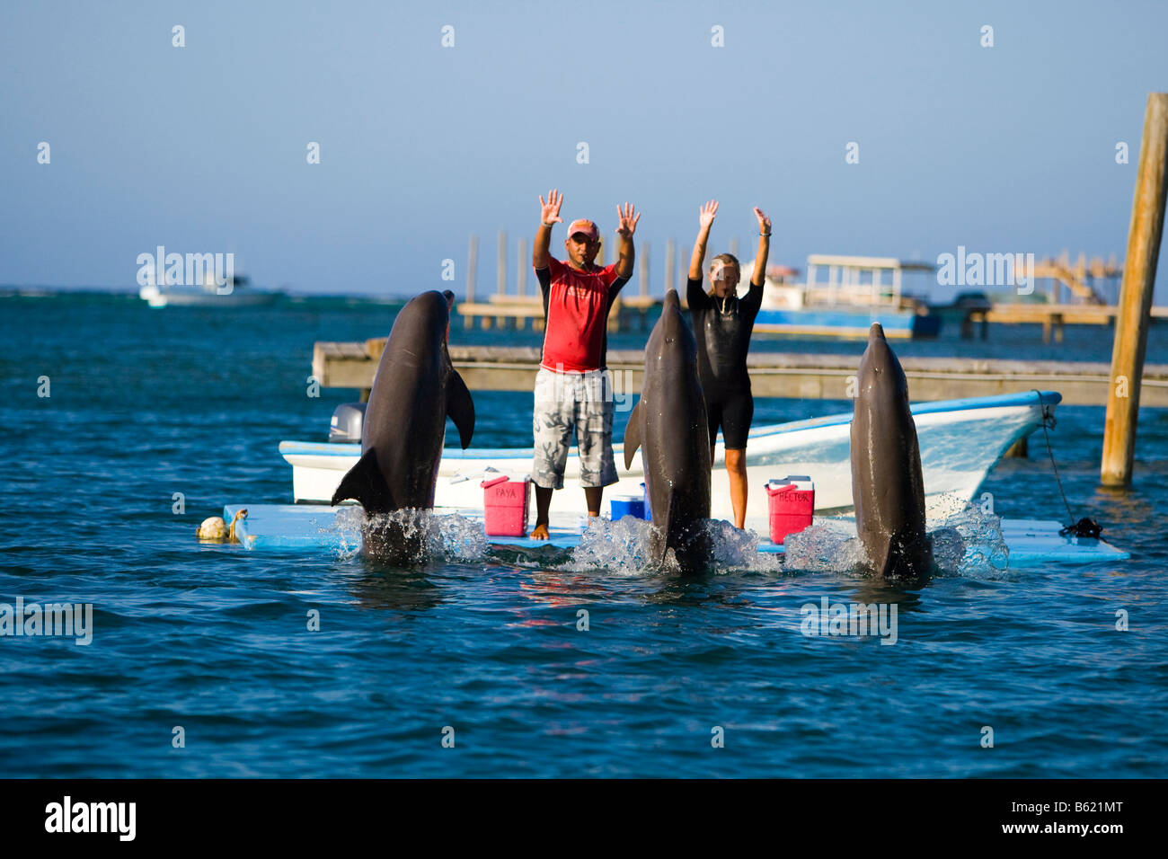 Trained dolphins, Common Bottlenose Dolphins (Tursiops truncatus), at a tourist event, Roatan, Honduras, Central - Stock Image