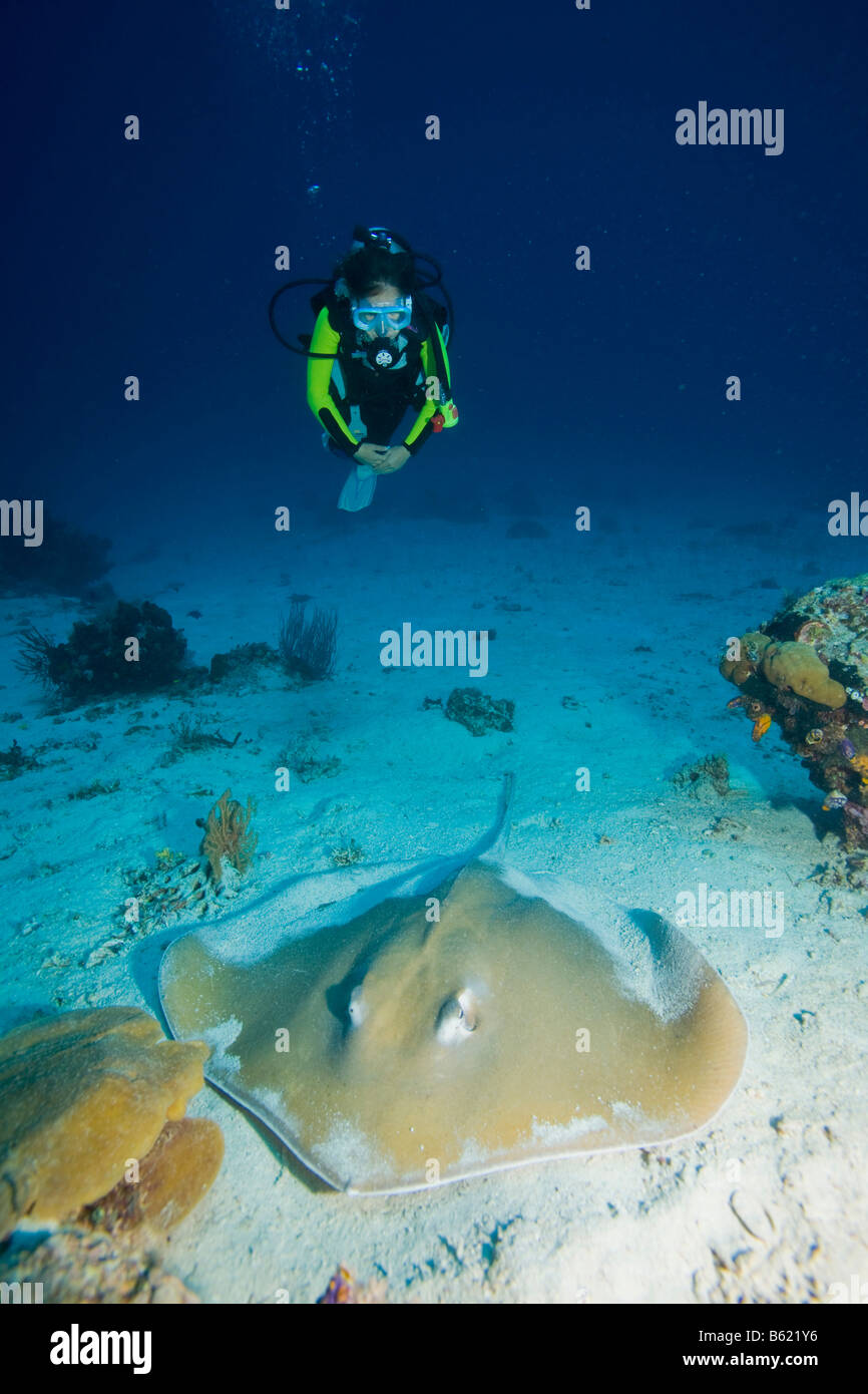 Diver observing a Pointed-nose Stingray (Himantura jenkinsii), also known as a Jenkins Stingray or Roughback Stingray, - Stock Image