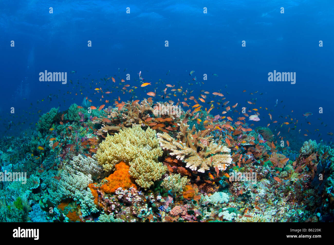 Colourful coral reef with Anthias (Anthiinae), Indonesia, South East Asia - Stock Image