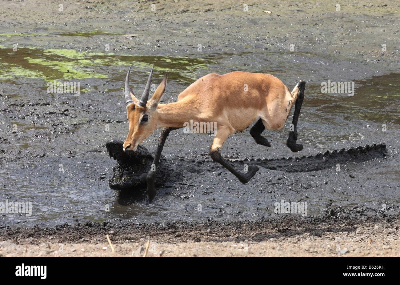 impala escaping from a nile crocodile attack - Stock Image
