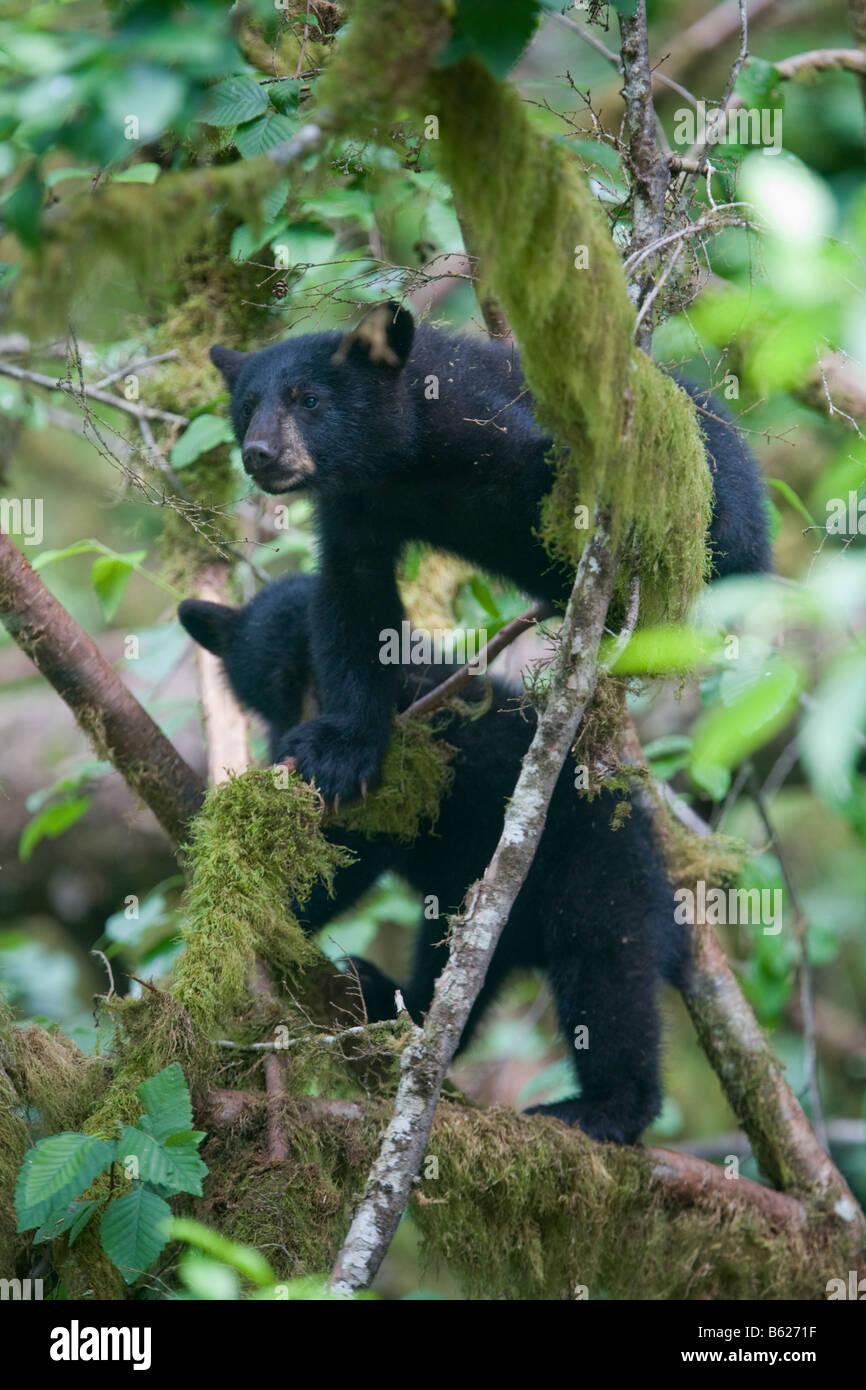 USA Alaska Kake Black Bear cubs climbing in tree above Gunnuck Creek on Kupreanof Island on summer afternoon - Stock Image