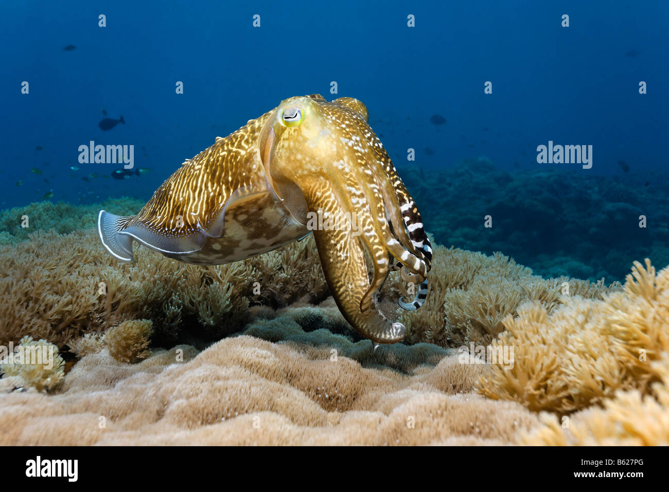 Common Cuttlefish (Sepia officinalis) in a coral reef, Selayar Island, West coast, South Sulawesi, Indonesia, Java - Stock Image