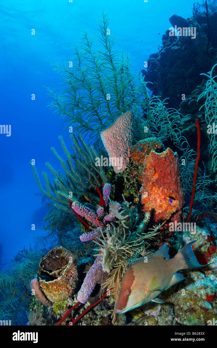 Coral reef with multi coloured different types of coral and sponges coral reef with multi coloured different types of coral and sponges hogfish lachnolaimus maximus half moon caye lighthous publicscrutiny Images