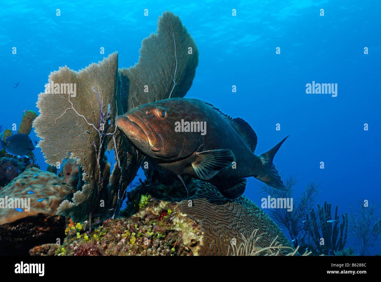 Black Grouper (Mycteroperca bonaci) lurking behind a Venus Sea Fan (Gorgonia flabellum) for prey, Hopkins, Dangria, Stock Photo
