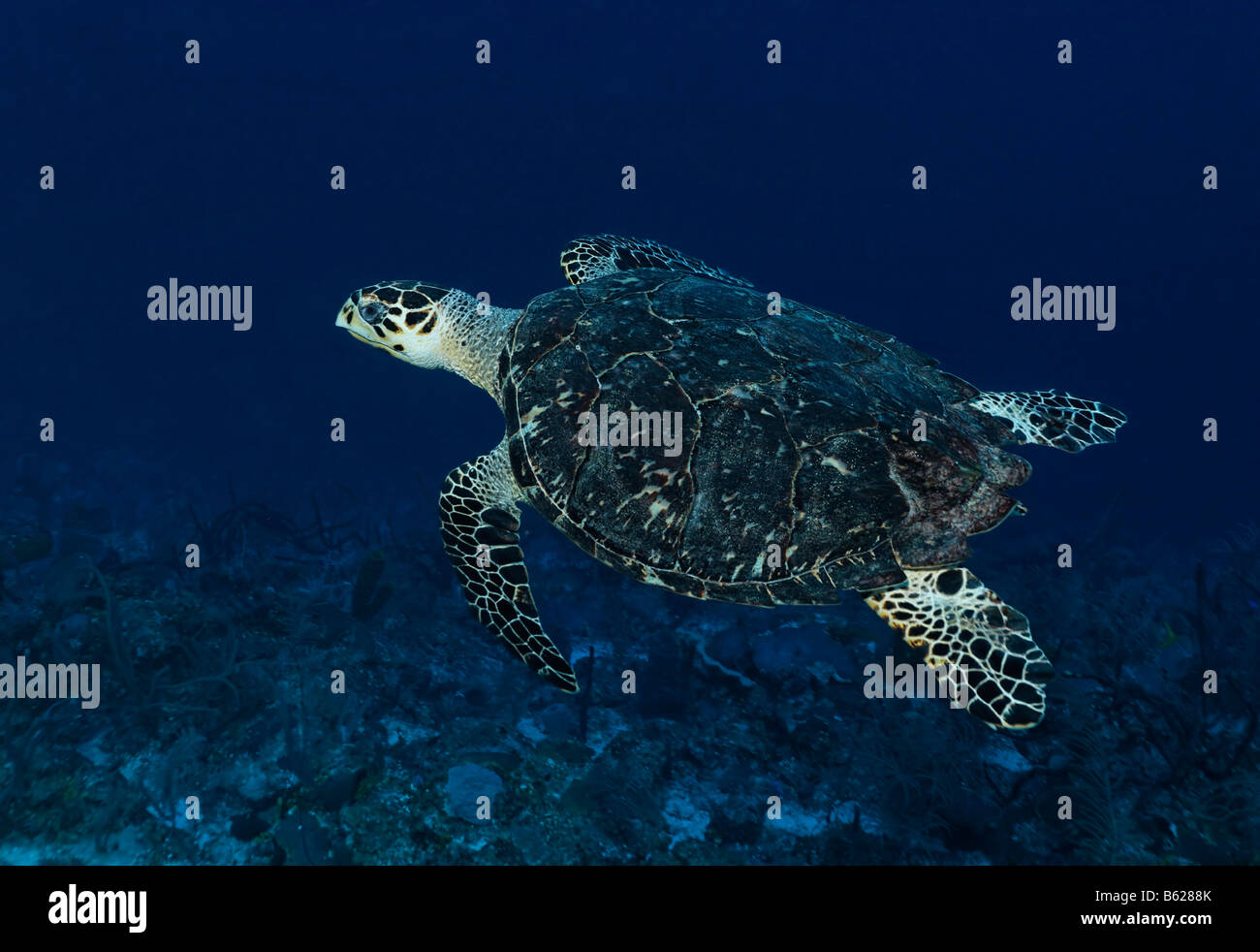 Genuine Hawksbill Turtle (Eretmochelys imbricata) swimming in blue water high above a coral reef, Hopkins, Dangria, - Stock Image