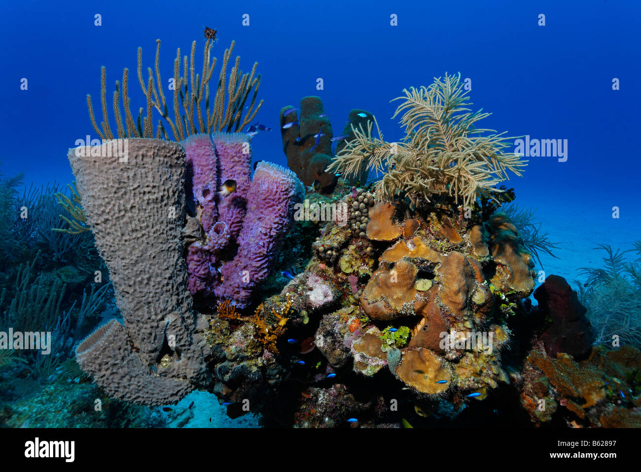 Small, multi-coloured coral block in front of a sandy seabed with diverse sponges and corals, Hopkins, Dangria, - Stock Image