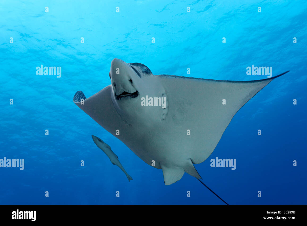 Spotted Eagle Ray (Aetobatus narinari) from below in blue water, Live sharksucker (Echeneis naucrates), Hopkins, - Stock Image