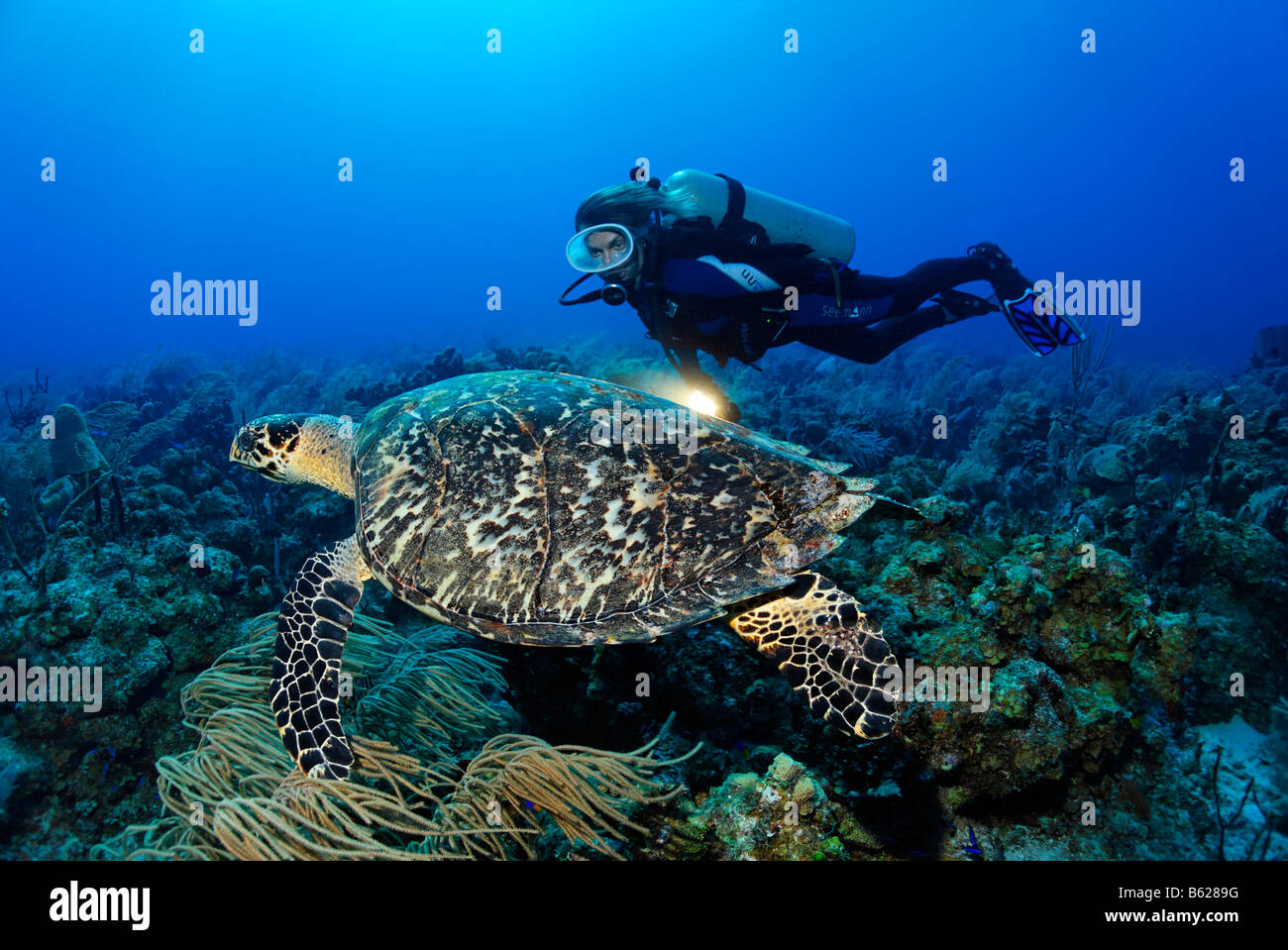 Female diver with a lamp observing a genuine Hawksbill Turtle (Eretmochelys imbricata) in a coral reef, Turneffe - Stock Image