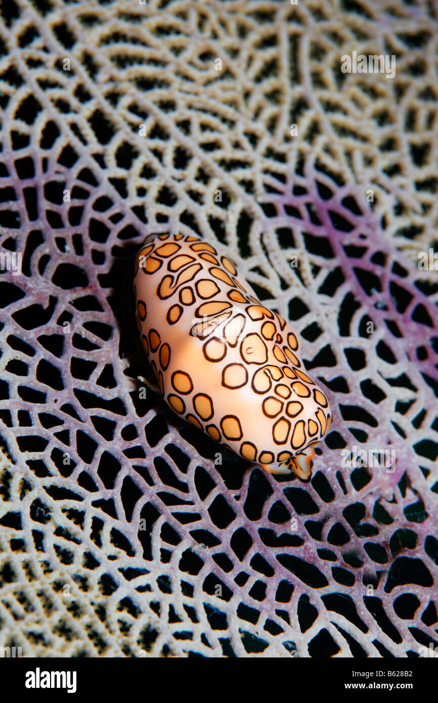 Ovulids, Cowry Allies or False Cowries (Cyphoma gibbosum) crawling over a Venus Sea Fan (Gorgonia flabellum), Barrier - Stock Image