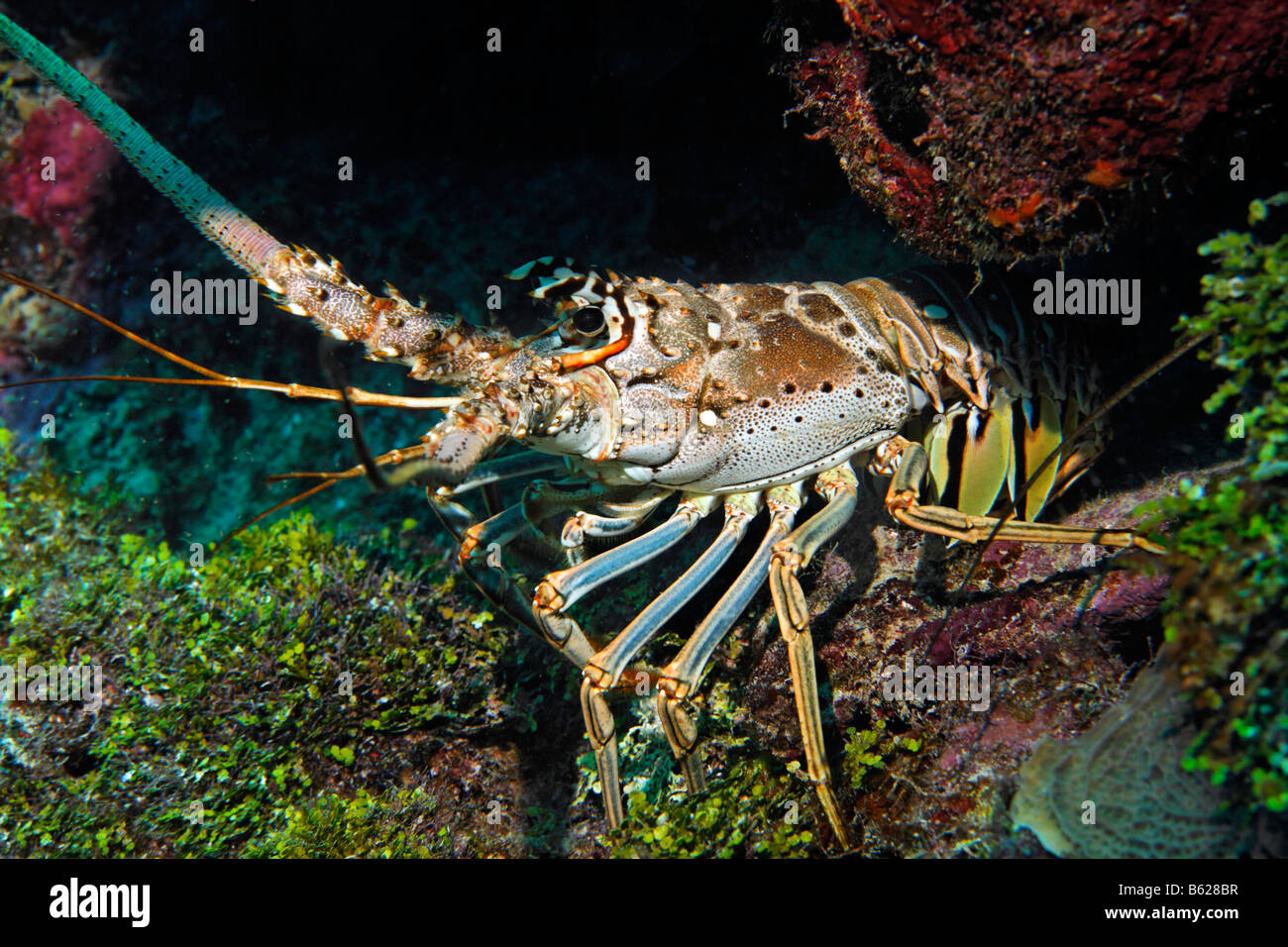 Caribbean Spiny Lobster (Panulirus argus) in a crevice, Barrier Reef, San Pedro, Ambergris Cay Island, Belize, Central - Stock Image