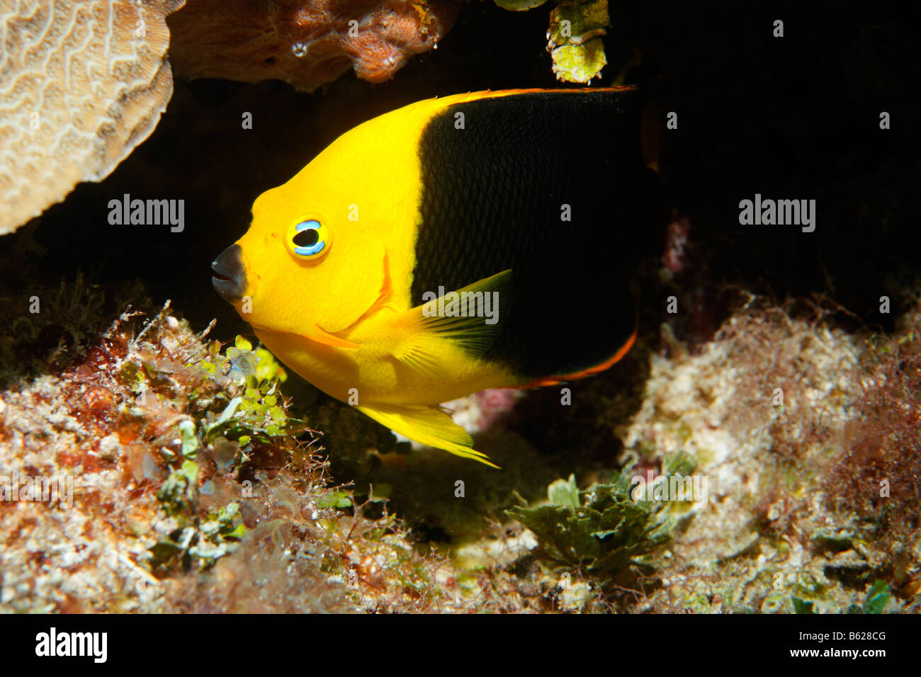 Rock Beauty (Holacanthus tricolor) in front of a crevice, Barrier Reef, San Pedro, Ambergris Cay Island, Belize, - Stock Image