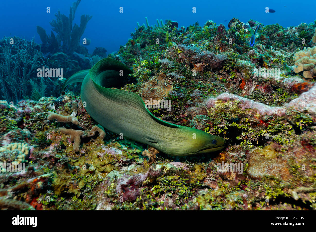 Green Moray (Gymnothorax funebris), an eel, searching every crevice in a coral reef for prey, also Halimeda Algae Stock Photo