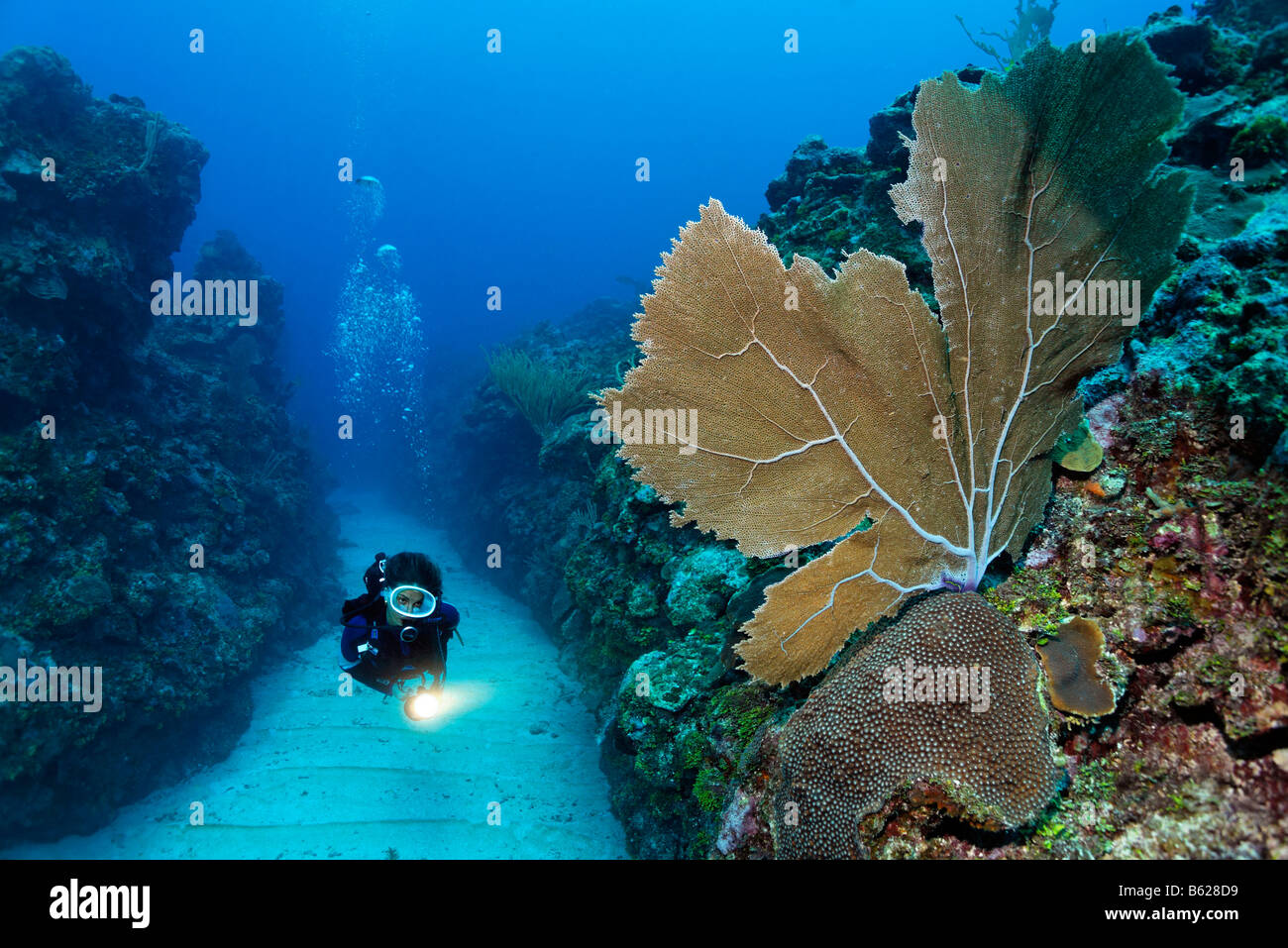 Scuba diver carrying a torch swims through a sandy bottomed channel between coral reefs and observes a Sea Fan coral - Stock Image
