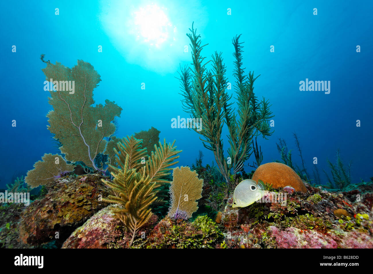 Sunlight shining through water onto a coral garden growing on the ridge of a coral reef, including Four-eyed Butterflyfish - Stock Image