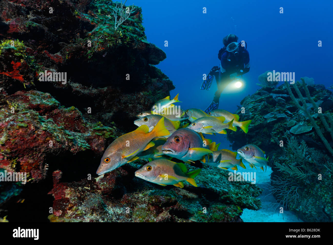 Scuber Diver with a torch observing a school of Dogtooth Snapper or Schoolmaster or Schoolmaster Snapper fish (Lutjanus - Stock Image
