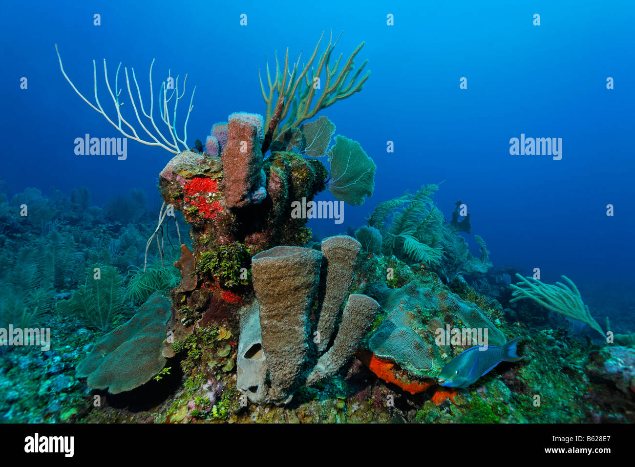 Queen Parrotfish (Scarus vetula) swimming past a block of coral covered with a variety of Sea Sponges (Demospongiae), - Stock Image
