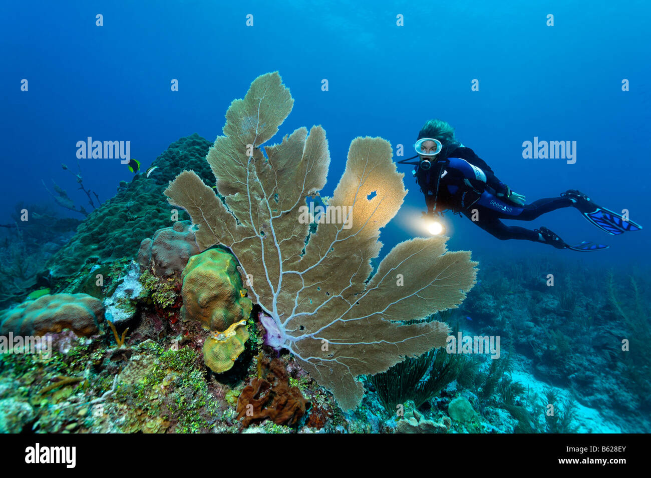 Scuba diver with a torch observing a Sea Fan coral (Gorgonia flabellum) on a coral reef, barrier reef, San Pedro, - Stock Image