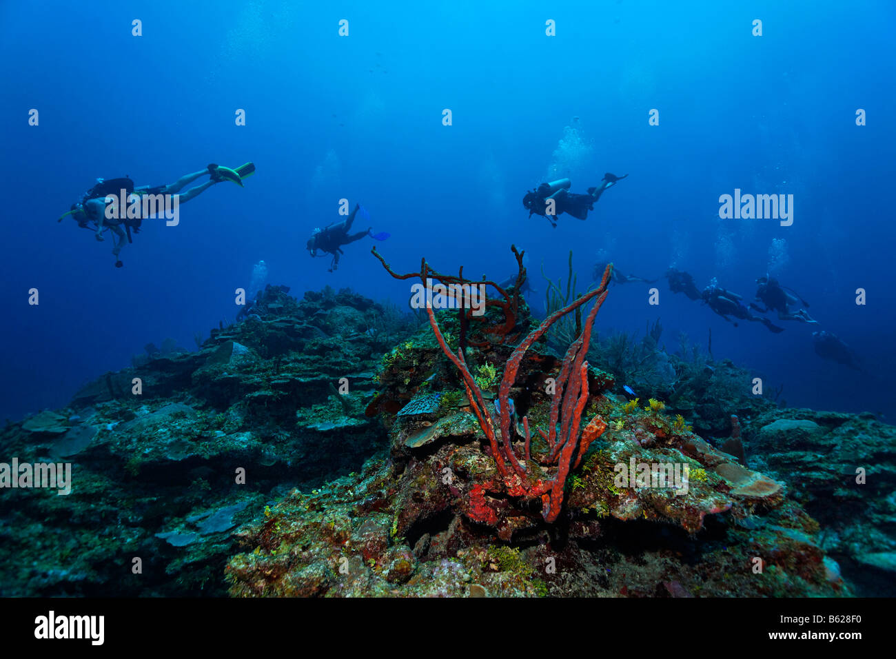 Scuba divers in a group swimming over a Caribbean coral reef, barrier reef, San Pedro, Ambergris Cay Island, Belize, - Stock Image