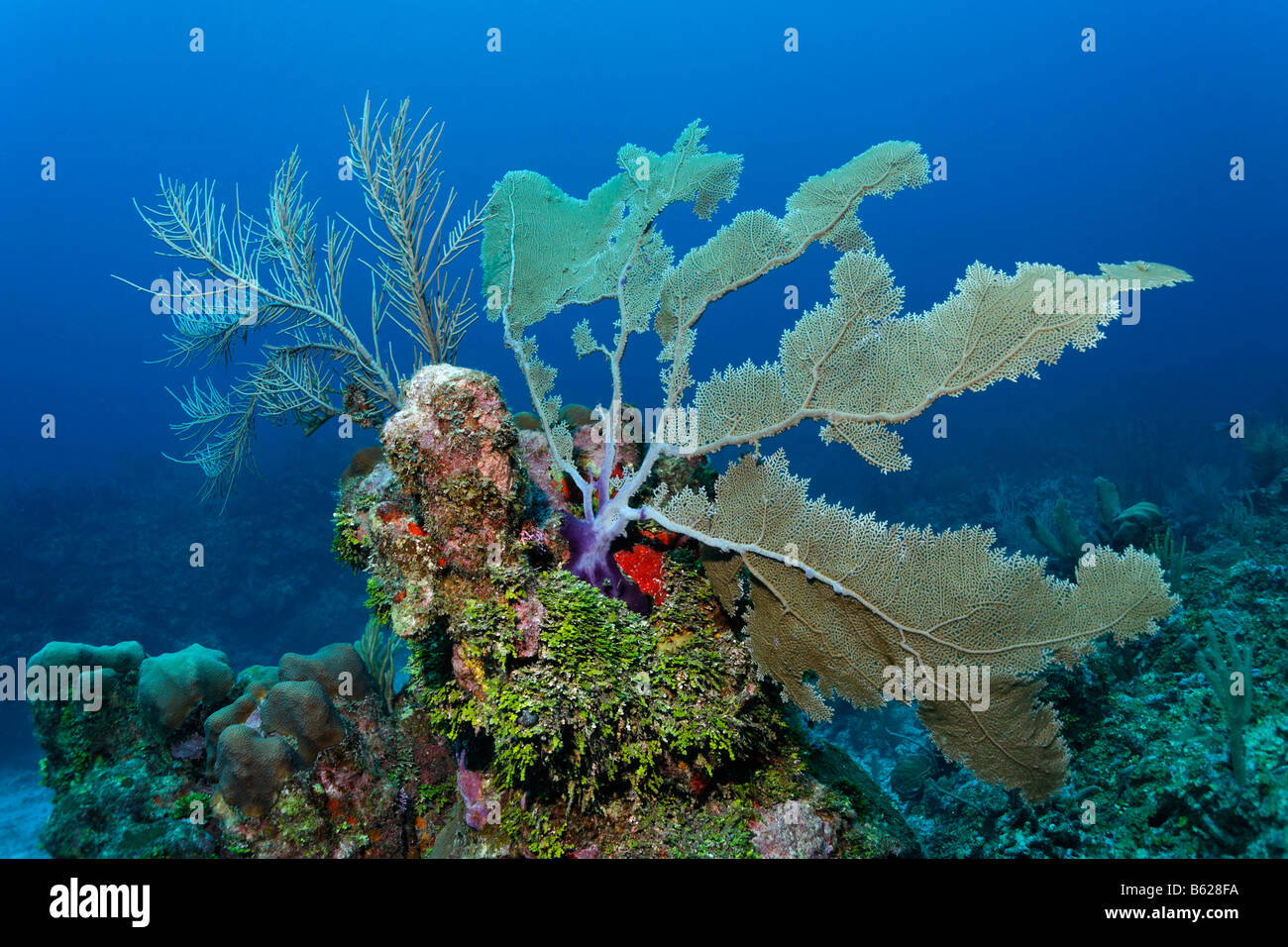 Coral reef or barrier reef alive with Sea Fan coral (Gorgonia flabellum), Halimeda Algae (Halimeda s.) and a variarty Stock Photo