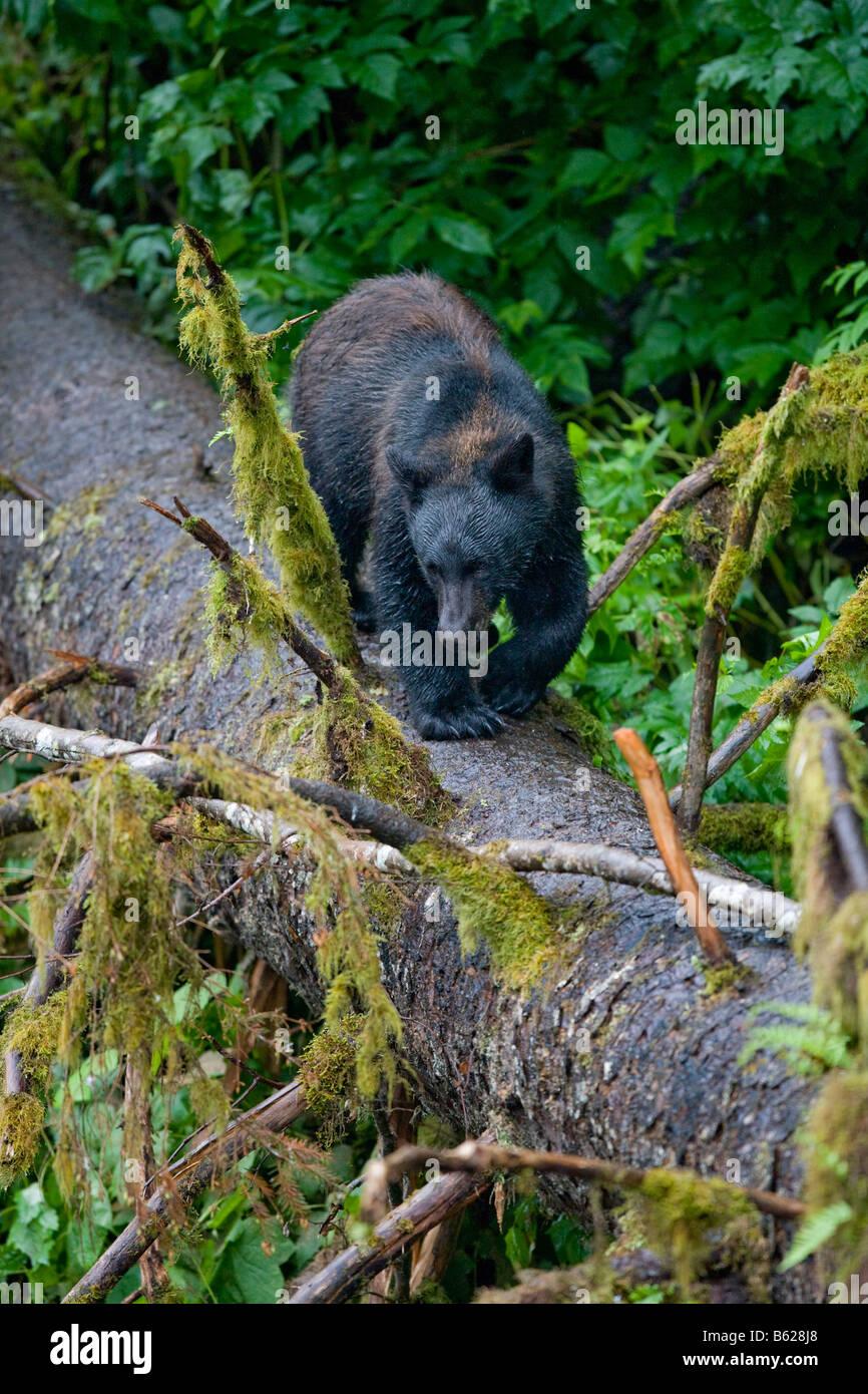 USA Alaska Kake Black Bear Ursus americanus walking down tree trunk above Gunnuk Creek in early summer rain - Stock Image