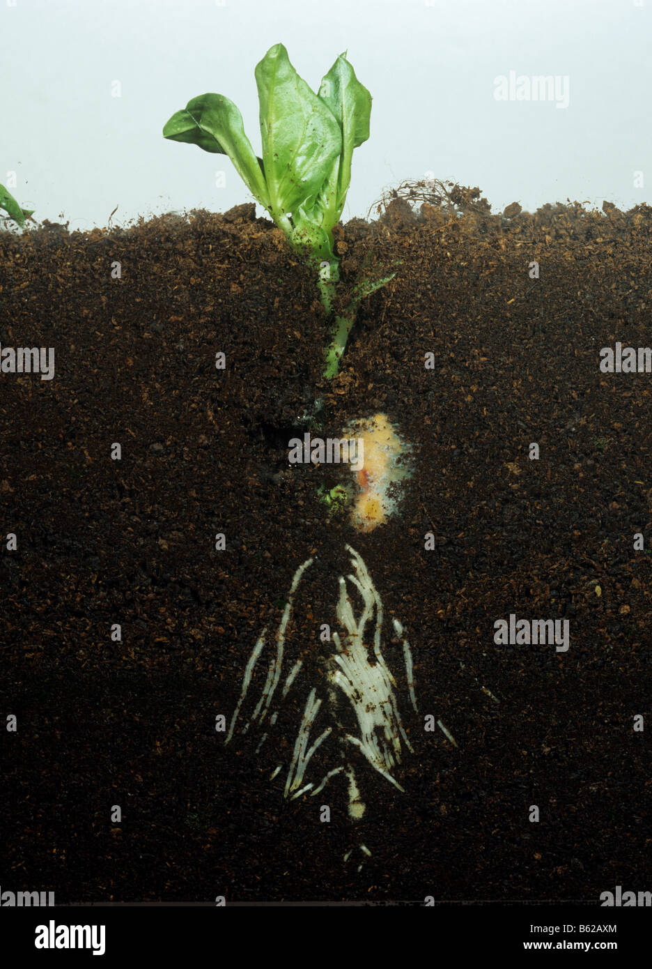Bean Vicia faba seedling plant emerging showing root and shoot development in a glass sided tank - Stock Image