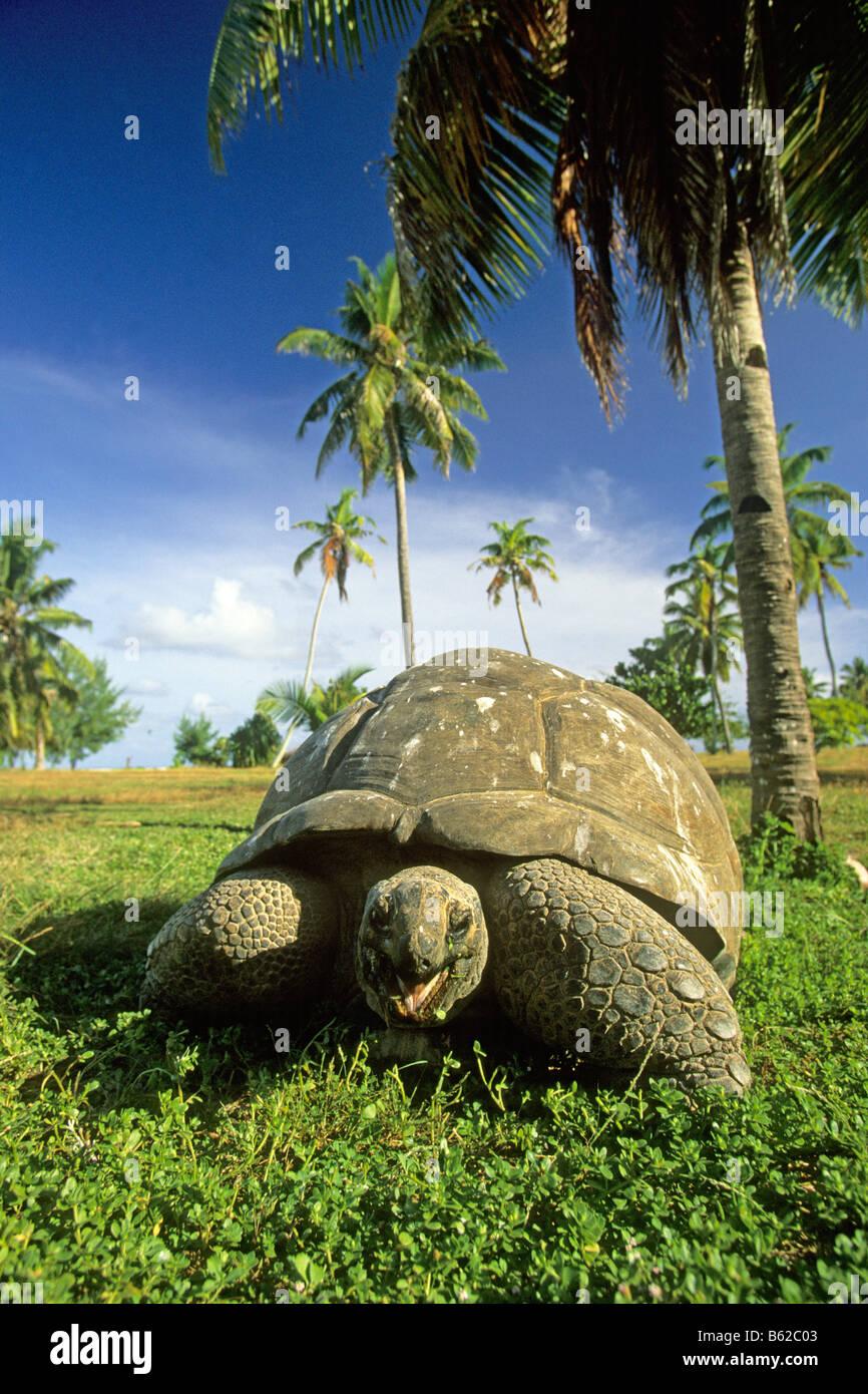 Aldabran Giant Tortoise, Aldabra Giant Tortoise (Dipsochelys dussumieri). The world s largest tortoise - Stock Image