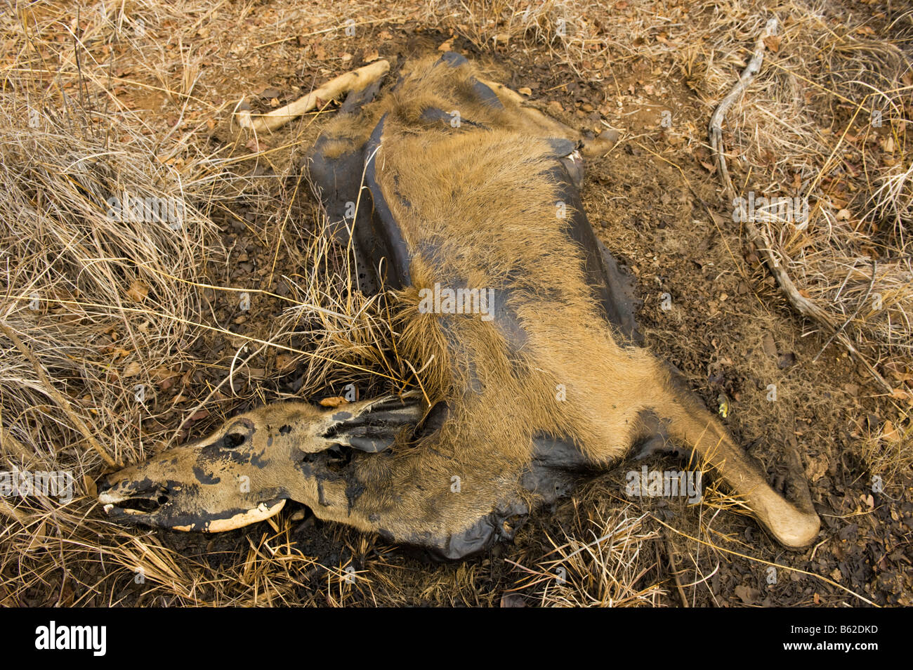 carrion Impala die dying of thirst carcass cadaver in the savannah  savanna south-africa dead water shortage corruption Stock Photo