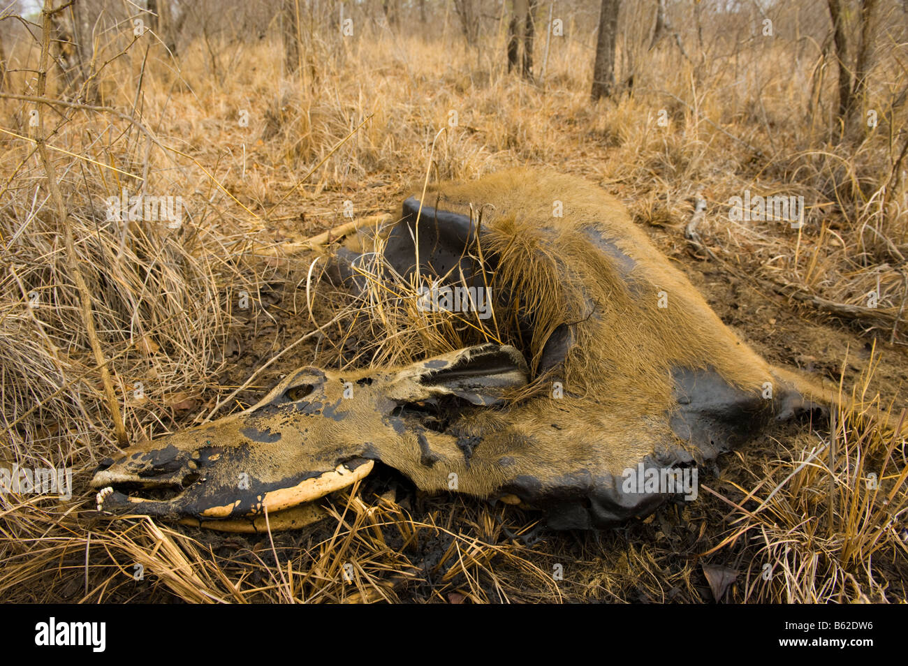 carrion Impala die dying of thirst carcass cadaver in the savannah  savanna south-africa dead water shortage corruption - Stock Image