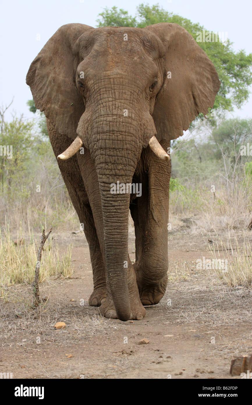 african elephant walking towards photographer - Stock Image