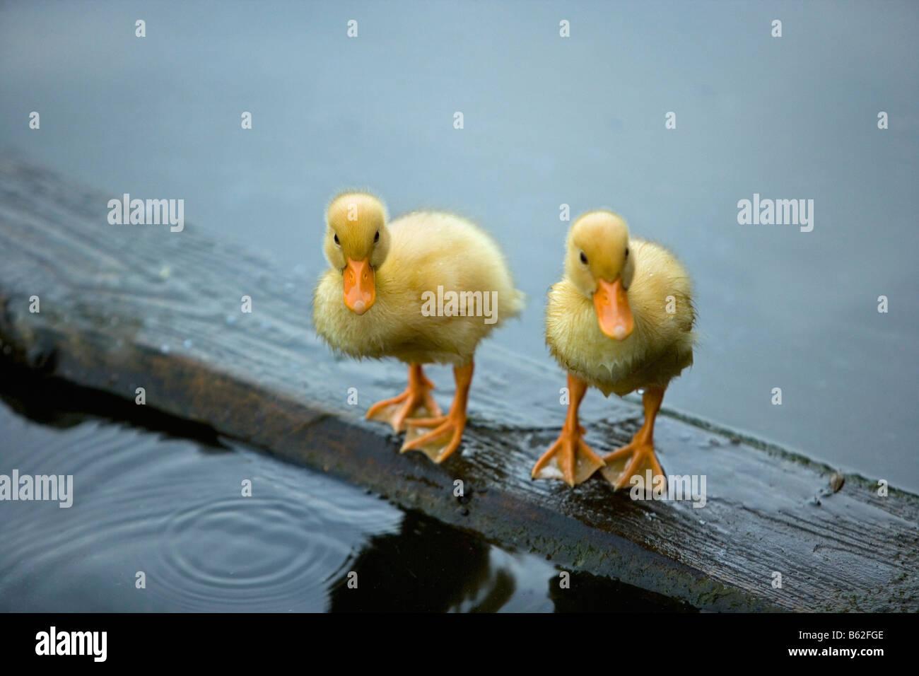 Netherlands, Noord Holland, Graveland, Wild duck chicks on board. - Stock Image