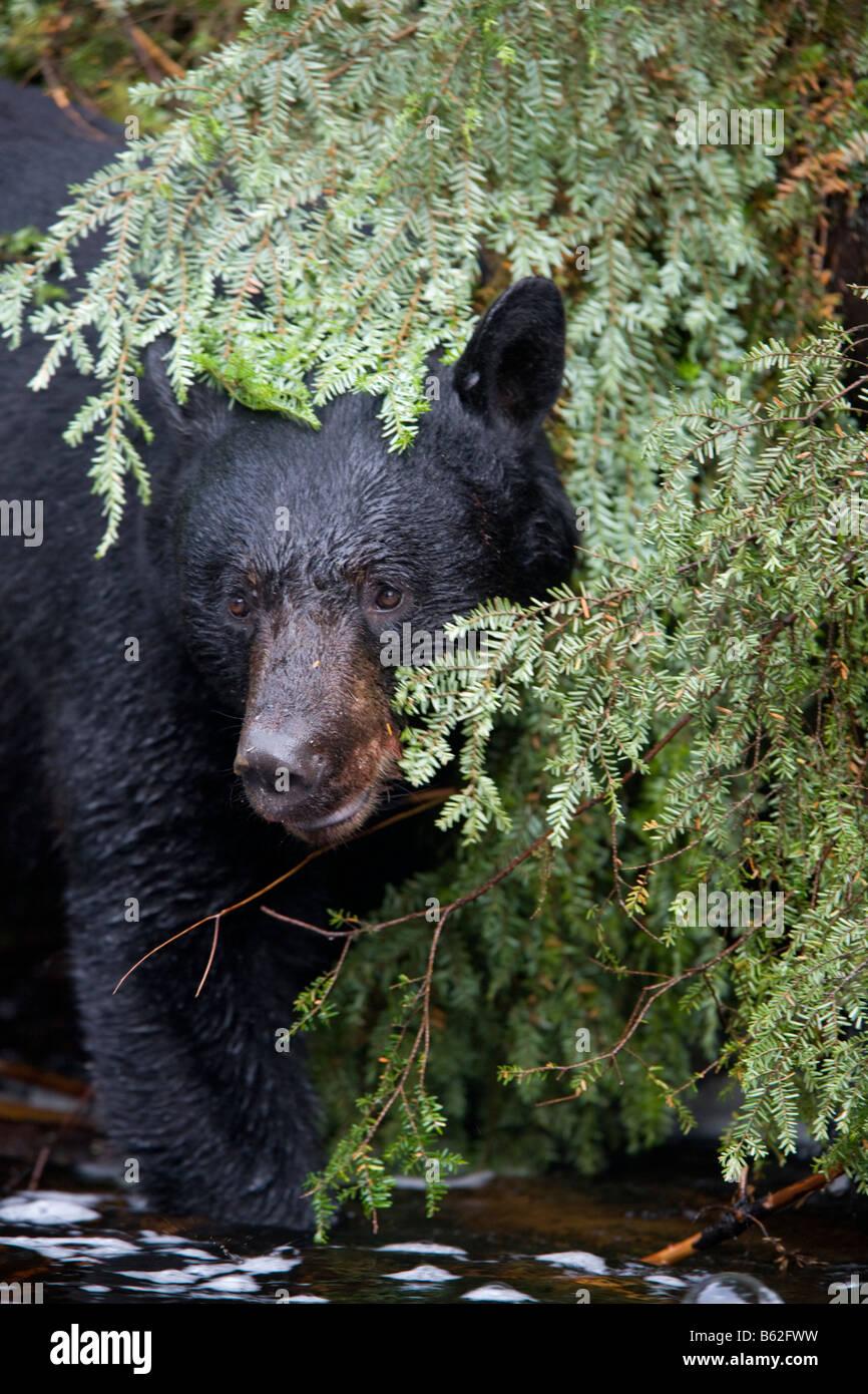 USA Alaska Kake Black Bear Ursus americanus fishing for Chum Salmon along Gunnuk Creek in early summer rain - Stock Image