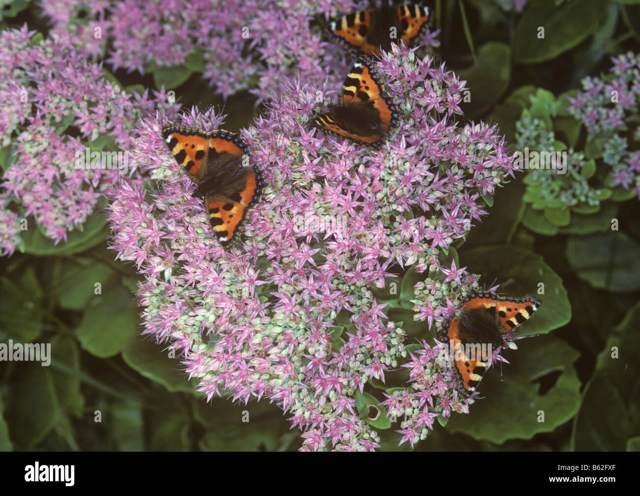 Small tortoiseshell butterfly Aglais urticae butterflies on Sedum spectabile plant - Stock Image
