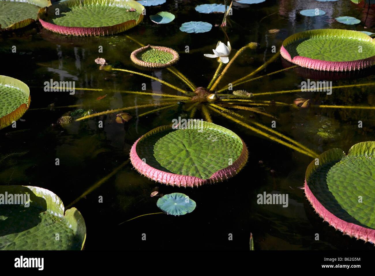 Holland Noord Holland Amsterdam Big waterplant called Victoria Regia in Hortus Betanicus - Stock Image