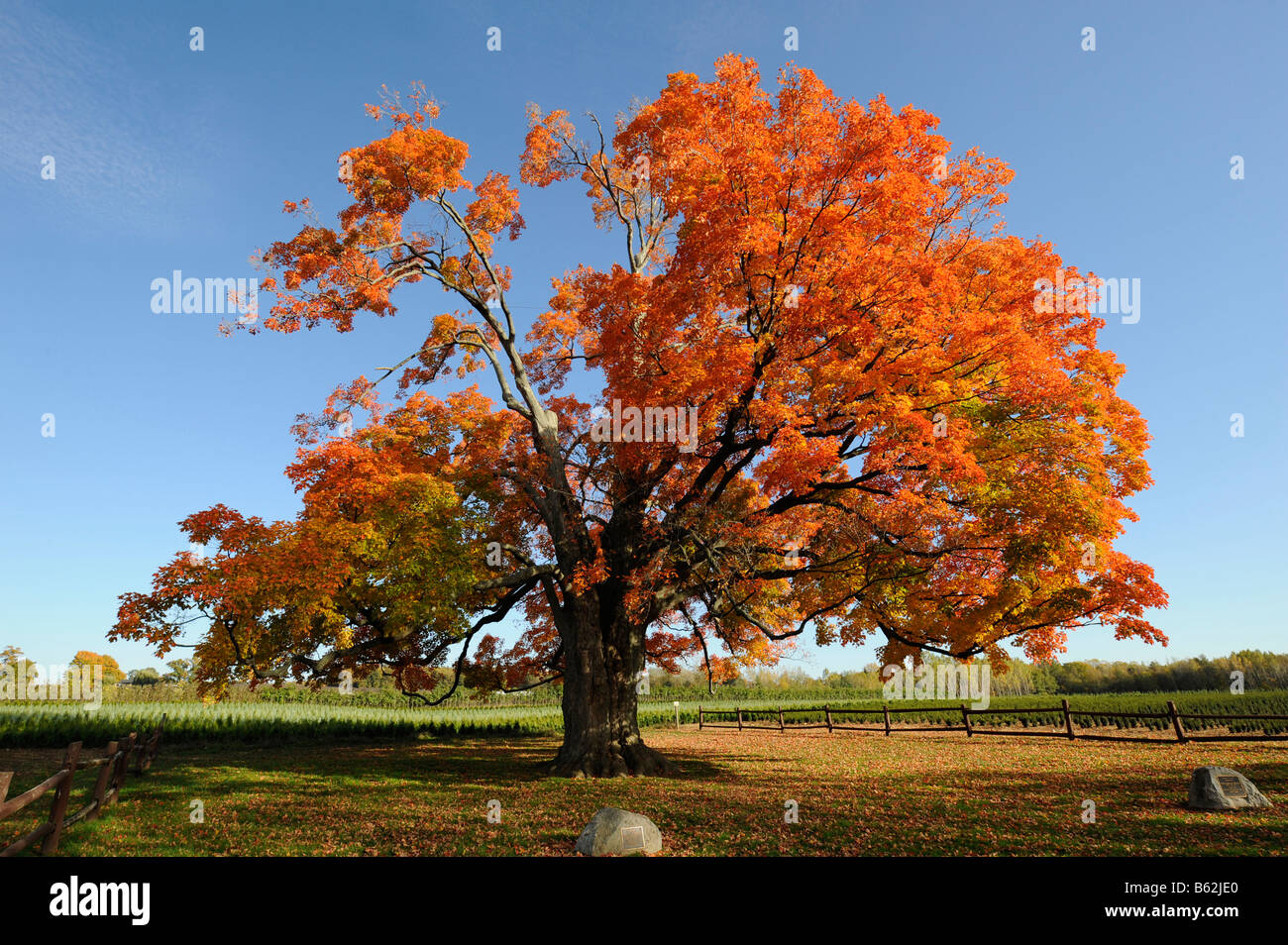 Comfort Sugar Maple Tree Oldest In Canada 500 Years Old Pelham Stock