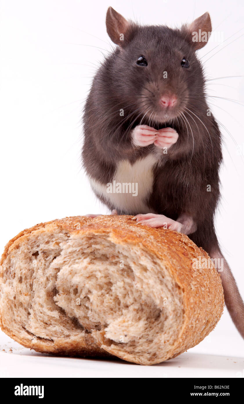 Rats very clever and artful rodents - Stock Image