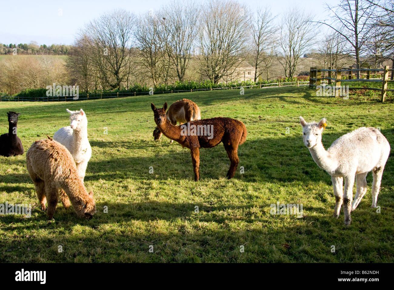 Alpaca Lama pacos gazing green grass for wool clothing in Cotswold Bibury England UK - Stock Image
