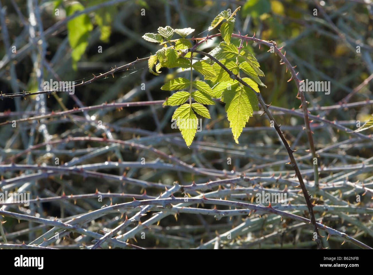 Rubus cockburnianus, last autumn leaves and white stems - Stock Image