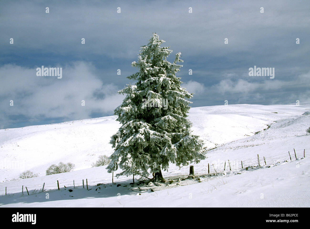 Fir tree in winter snow landscape scene - Stock Image