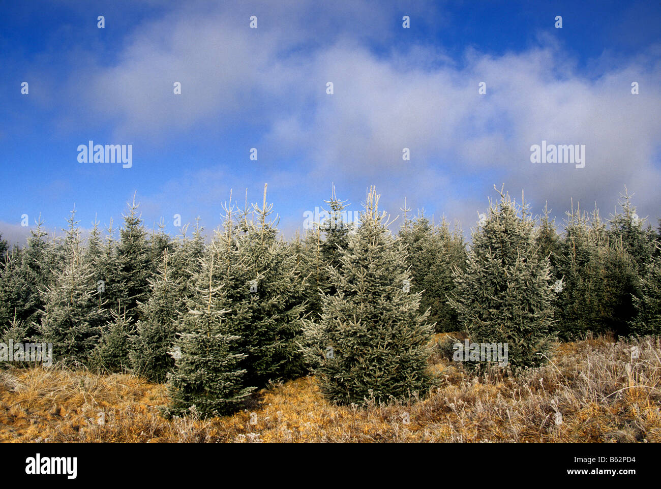 Christmas fir trees in winter - Stock Image
