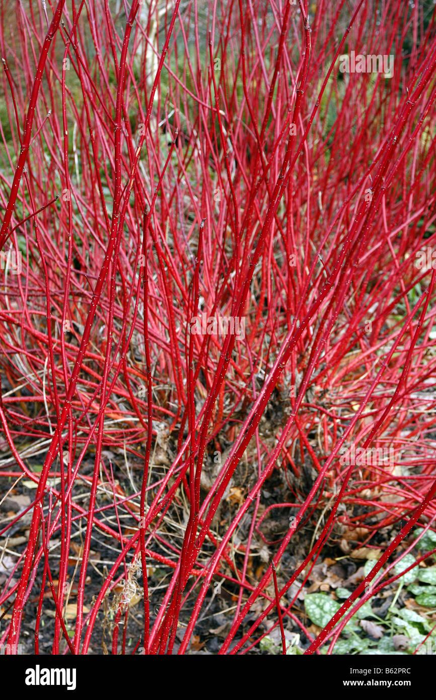 cornus alba sibirica agm at rhs rosemoor B62PRC