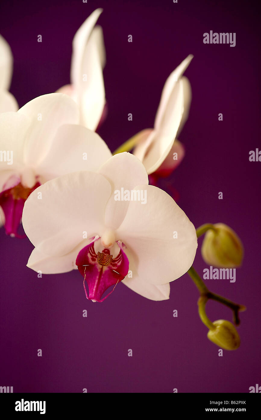 White and pink orchid on a purple background - Stock Image