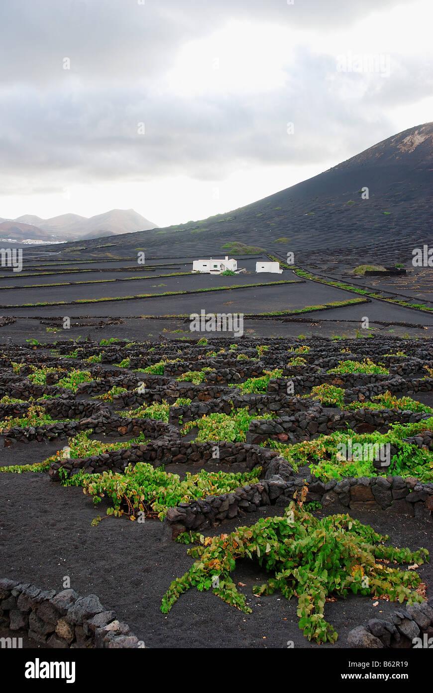 Vineyards in La Geria. Lanzarote island. Canary Islands. Spain. Stock Photo