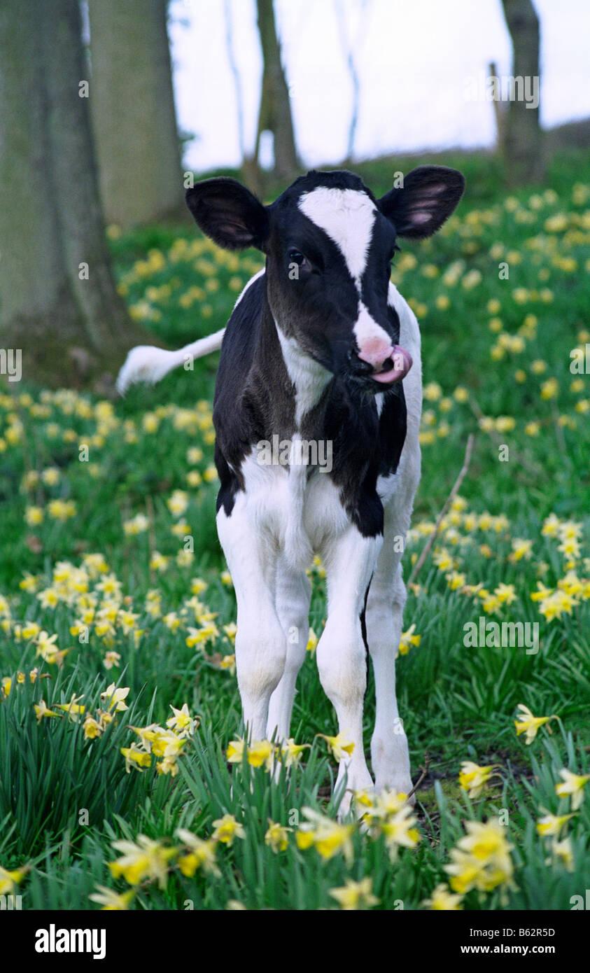 Holstein Friesian Calf Holstein friesian calf...