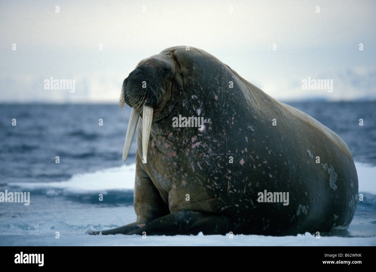 morse male Atlantic walrus on ice floe resting on ice floe the animal s skin flushes pink when warm to dissipate - Stock Image