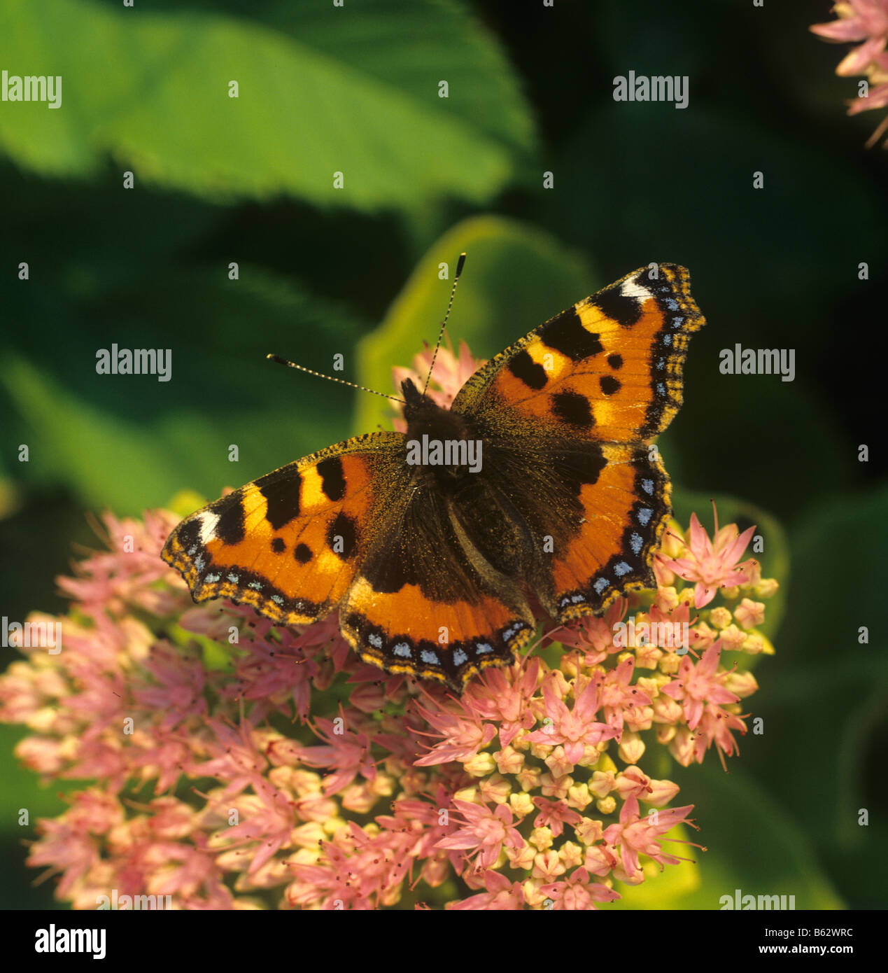 Small tortoiseshell butterfly Aglais urticae on Sedum spectabile flower in late afternoon light - Stock Image