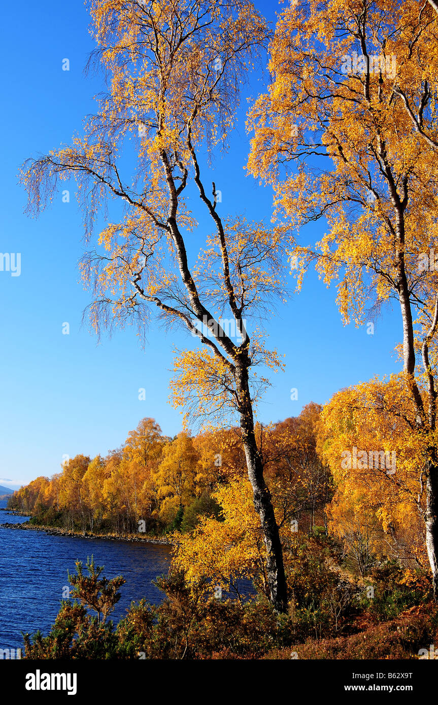 Silver Birch Trees in Autumn Perthshire Scotland UK - Stock Image