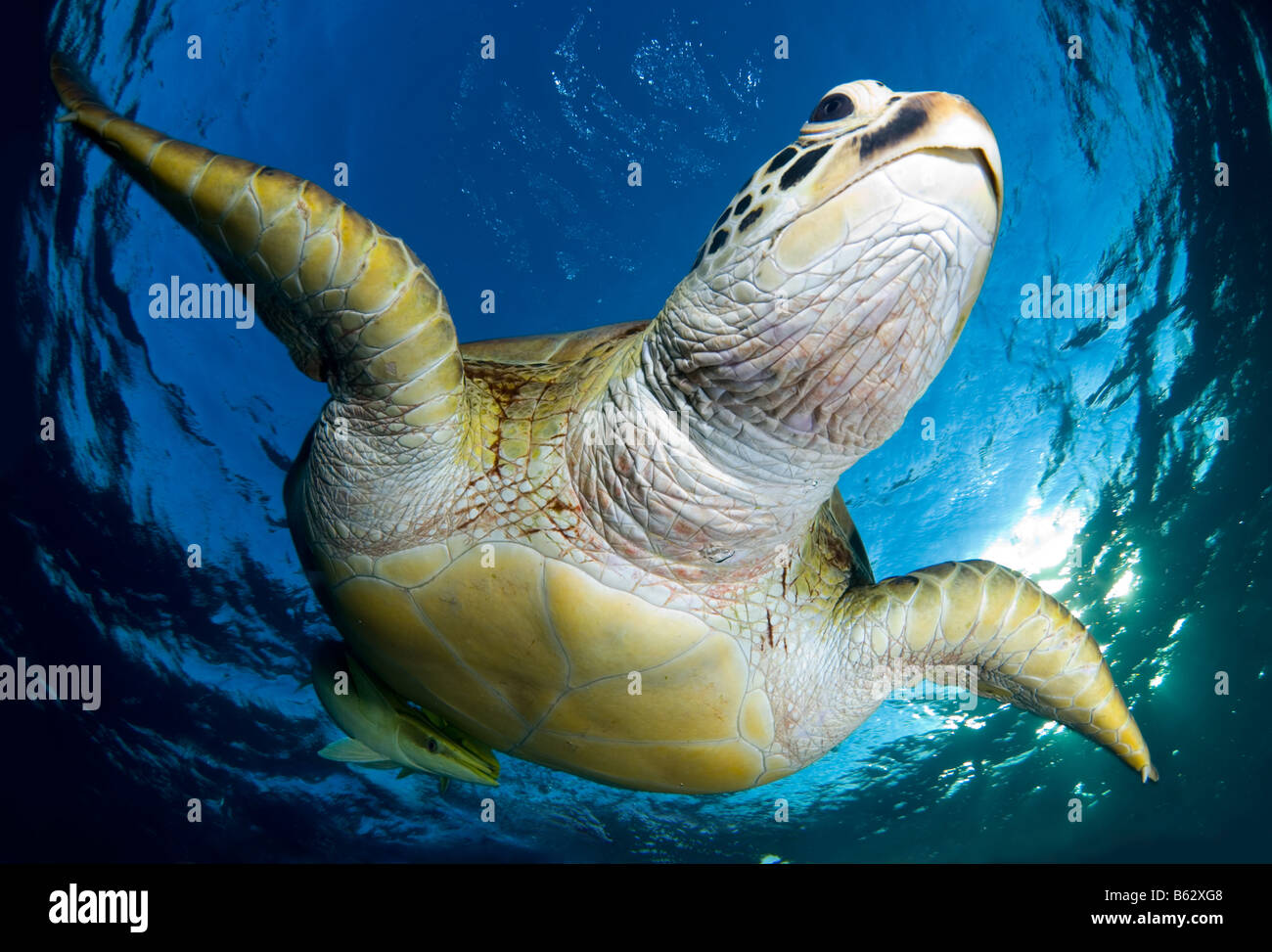Green sea turtle, chelonia mydas, swimming in shallows after breathing on the surface. Stock Photo