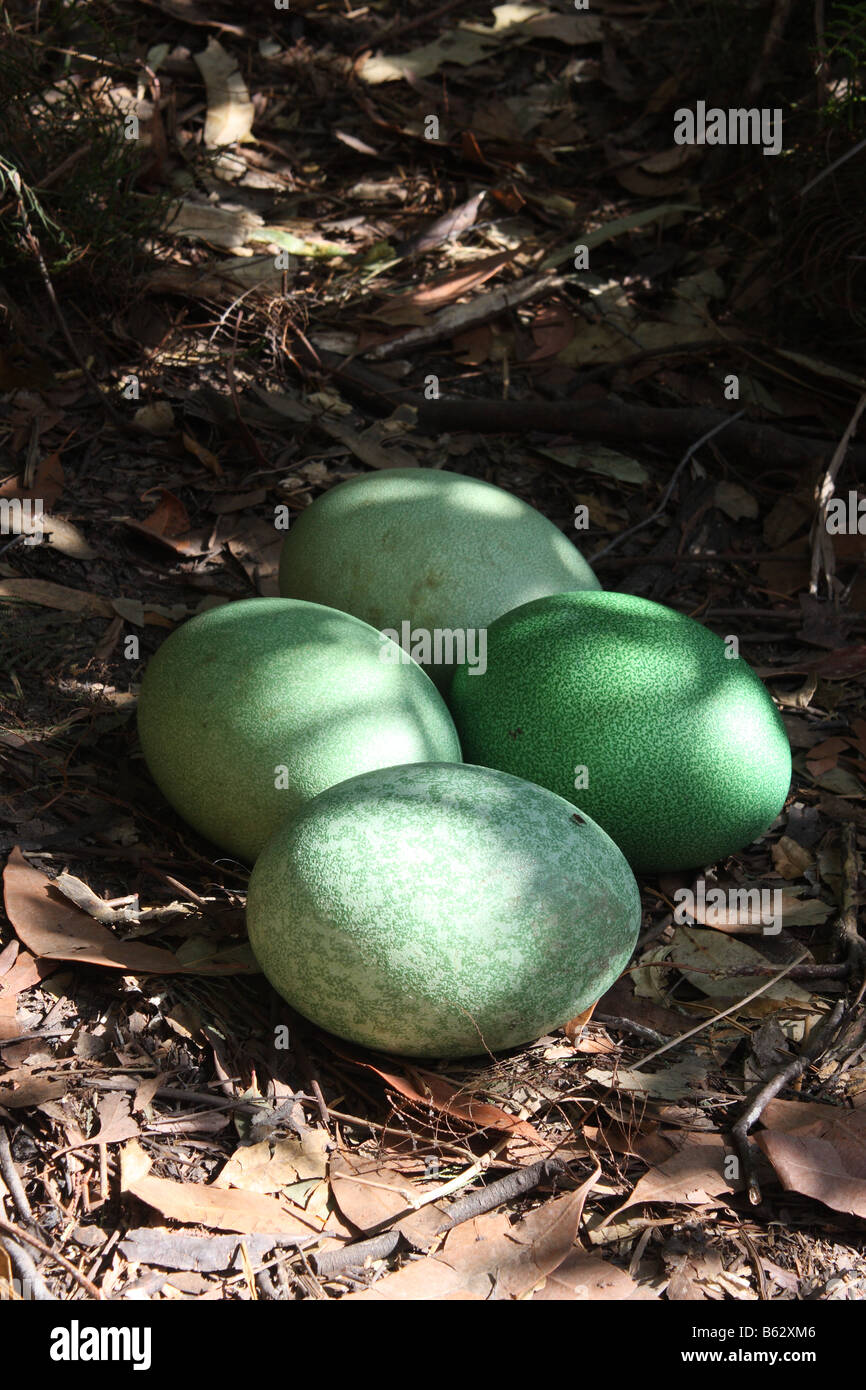 southern cassowary eggs in a clutch of four - Stock Image