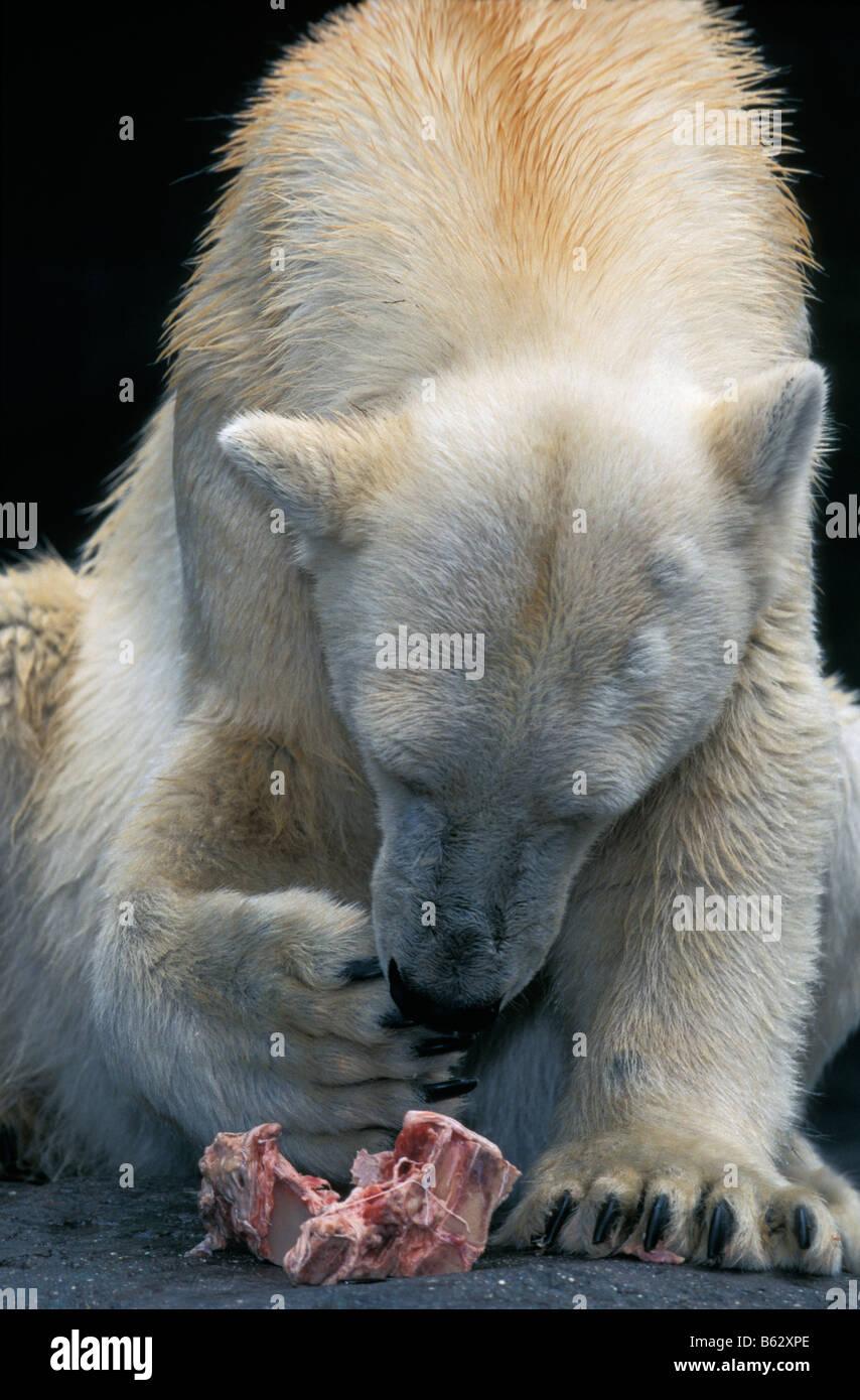 ours polaire Polar Bear Ursus maritimus Thalarctos maritimus Arctic Arktis Baeren Canoidea Carnivora Eisbaeren Grossbaeren - Stock Image